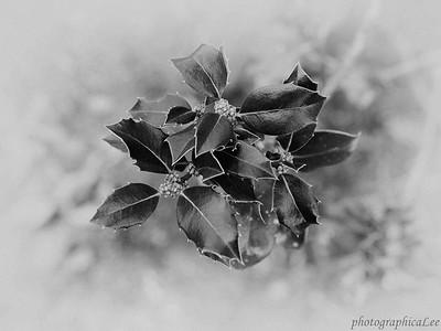 Ilex aquifolium, 'Big Bull', English Holly