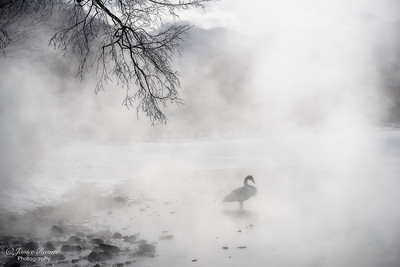 Whooper Swan in the Mist