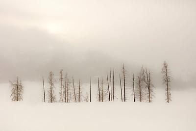 Cottonwood trees, misty morning