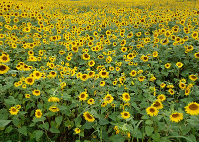 Hardin Valley Road sunflowers, cropped version for News Sentinel