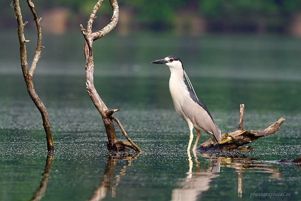 Blackcrowned Night Heron