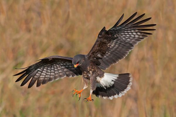 Male Snail Kite landing, Lake Toho, FL