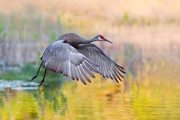 Sandhill Crane in flight across the golden lit swamp