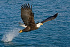 Bald Eagle snatching fish in Kachemak Bay, Alaska