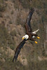 Bald Eagle banking with a mountainous background