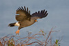 Male Snail Kite taking off, Lake Toho, Fl