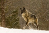 Timber Wolf (c) running through the snow, Montana