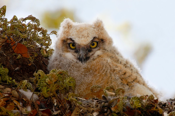 Great Horned Owlet peering over his nest from Washington Oaks SP, St Augustine, FL