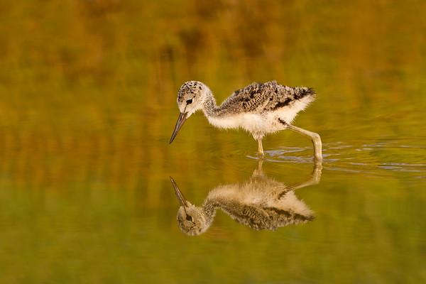 Black-necked Stilt chick with reflection from Merritt Island NWR