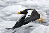 Steller's Sea Eagle taking off from an ice flow, Rausu, Japan