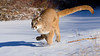 Mountain Lion (c) running through a frozen snow covered stream