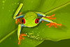 Red-eyed Tree Frog on palm leaf, Costa Rica
