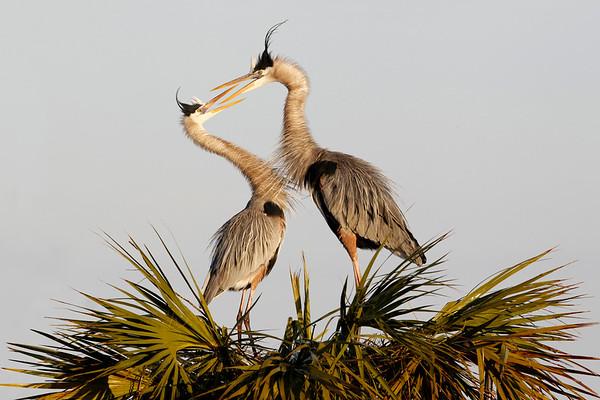 Great Blue Herons beak to beak, Viera Wetlands, Melbpourne , Fl