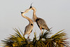 Great Blue Herons beak to beak, Viera Wetlands, Melbpourne , Fl