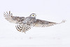 Female Snowy Owl looking back as she flies in white-out conditions, Berthierville, Canada