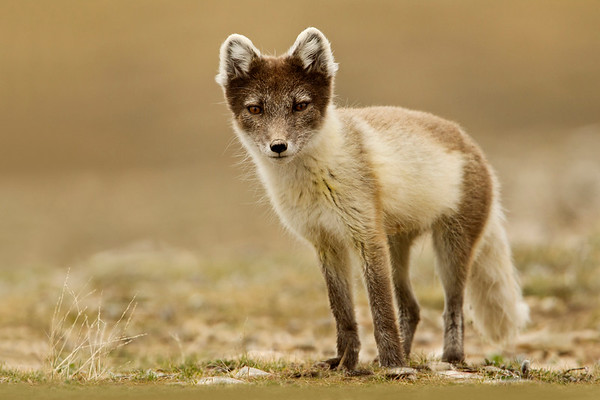 Arctic Fox in his summer coat.  Taken in Cambridge Bay, Nunavut