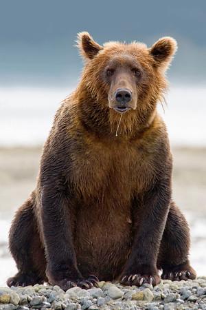 Drooling Grizzly Bear taken near Katmai Wilderness Lodge, Alaska