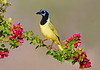 Green Jay perched among Double Bounganvillea, Laguna Seca Ranch, Texas