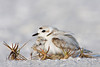 Snowy Plover and newborn chick, Sanibel Island, FL.  This image has been used extensively by Audubon in their magazine, on calendars and for a corporate report
