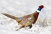 Ring-necked Pheasant in the snow, Skagit Vally , WA