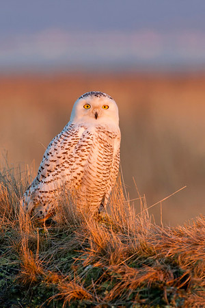 Golden light bathing a Snowy Owl perched on grass covered log, Boundary Bay, Canada