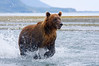 Grizzly Bear dashing through the water in pursuit of salmon