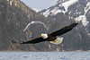 Bald Eagle soaring over water in a small inlet off Kachemak Bay, Alaska