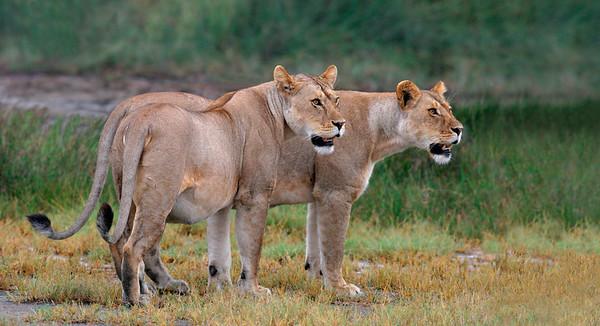 Pregnnt Lionesses viewing the terrain.  Tanzania