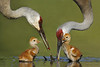 Sandhill Cranes feeding one and two day old chicks, Seminole County, FL