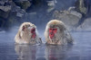 Snow Monkeys in the spa, Central Honshu, Japan