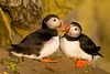 "Atlantic Puffins ""kissing"". Latrabjarg, Iceland"