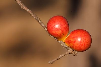 Young Oak Balls