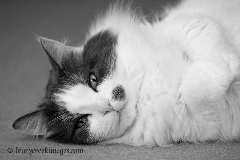 Sicily in Repose<br /> First Place - Animals (B&W) - 2011 Washington County Fair