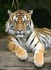 Majestic Tiger<br /> <br /> Honorable Mention - Washington County Fair 2006