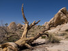 Joshua Tree, March 23, 2008.  SoCal Fair 2008, 3rd Place, Color, Landscapes.