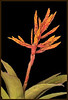 Bromeliad Vriesea