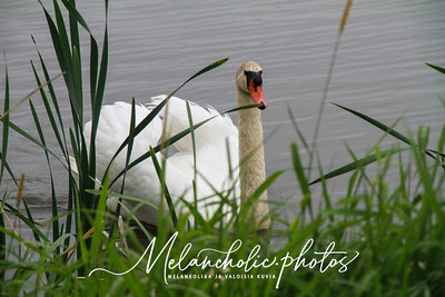 Ranked in BirdLife's and Elenia's Swan photo competition