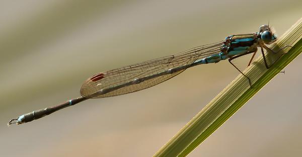 Blue Damselfly - Austrolestes colensonis