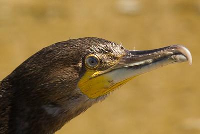 Black Shag - Phalacrocorax carbo