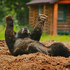 """Teddy, Play Dead""<br /> <br /> 2nd Place - September 2012 - MVPC"