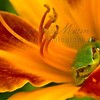 """Daylily Frog""<br /> <br /> 2nd Place - April 2012  - MVPC Print"