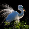 Great Egret  in Back Light