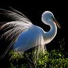 Great Egret  in Back Light