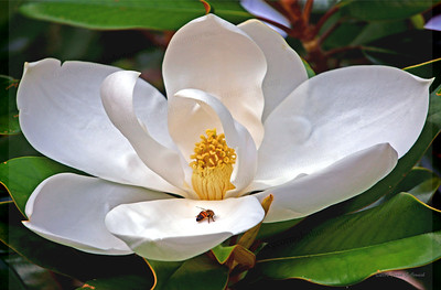 Magnolia blossom and bee