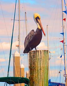 Pelican postcard