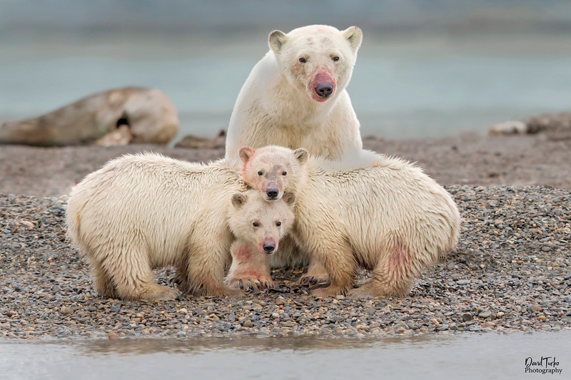 Polar Bear Sow & Cubs