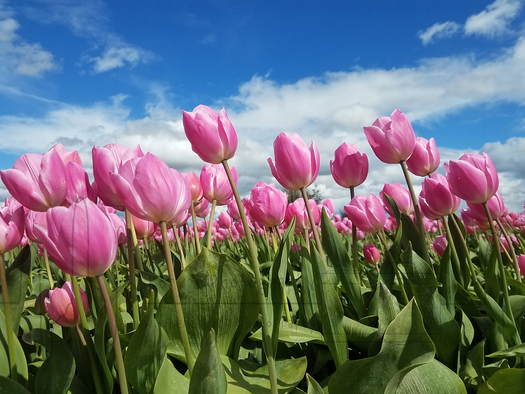 Windy Tulips