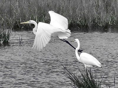 "David Keener - ""Egrets"" - 2009 Brunswick Parks & Recreation Photo Contest  - 2nd Place Black & White Wildlife"