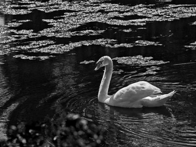 "Jerry Koons - ""Swan Song"" - 2009 Brunswick Parks & Recreation Photo Contest  - First Place Black & White Wild Life"