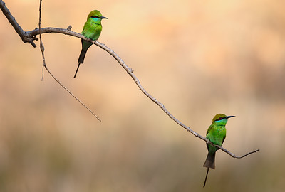 Green bee-eater monitors the flight (of termites)